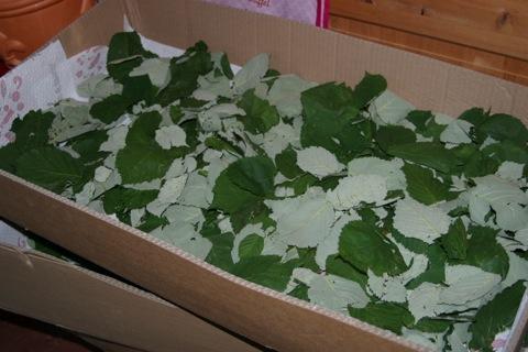 salatgurke pflanze braune blätter